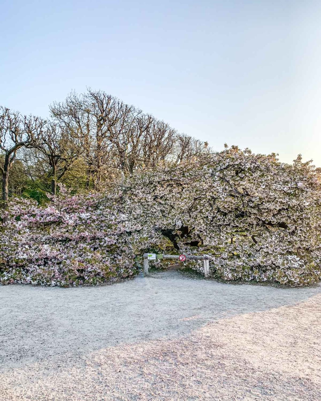 White Japanese cherry tree in Jardin des Plantes - Paris
