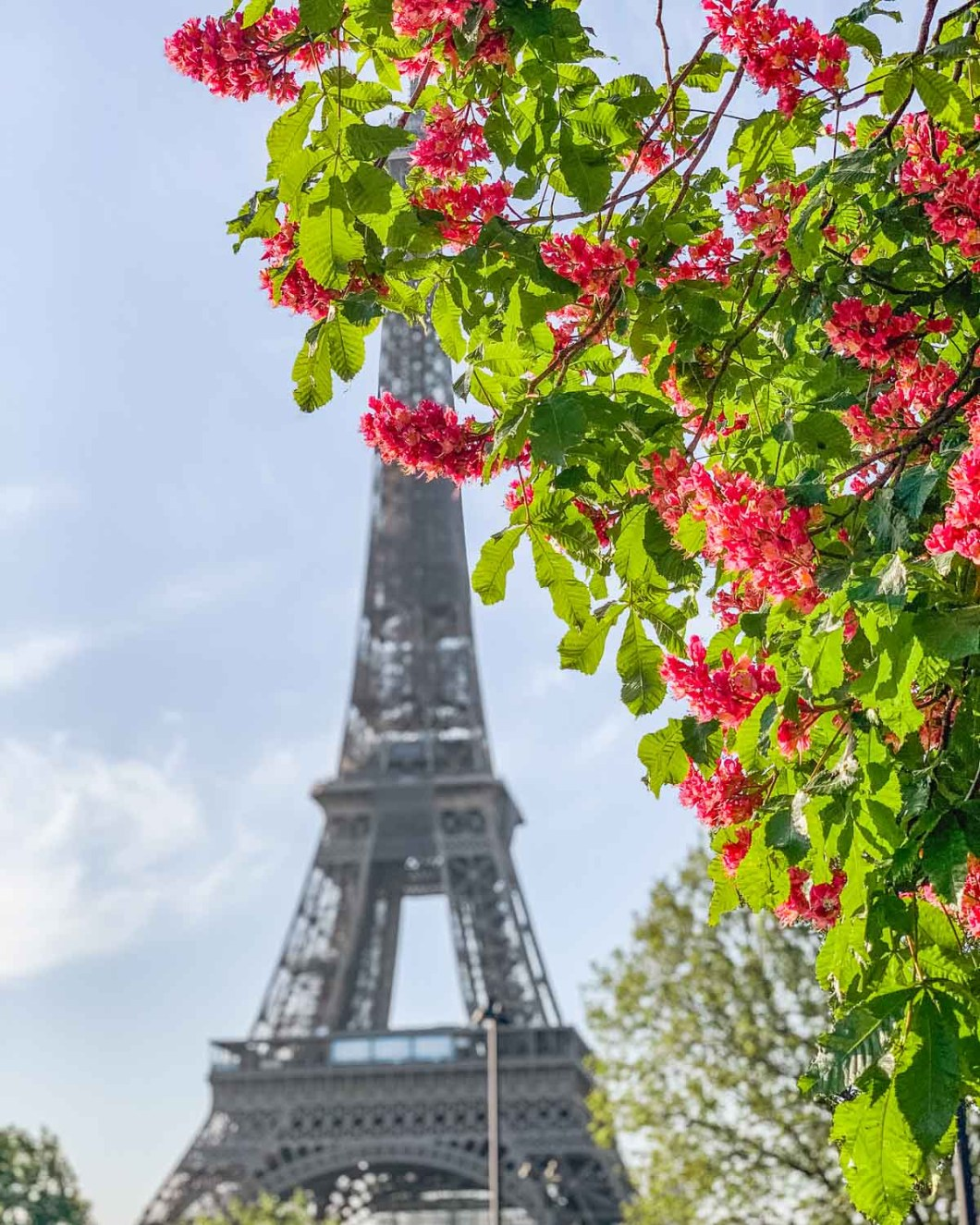 Chestnut trees in bloom at the Eiffel Tower in the Trocadero gardens - Spring in Paris