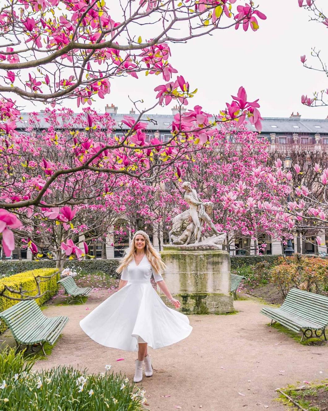 Magnolias in bloom in the garden of the Palais Royal - Paris