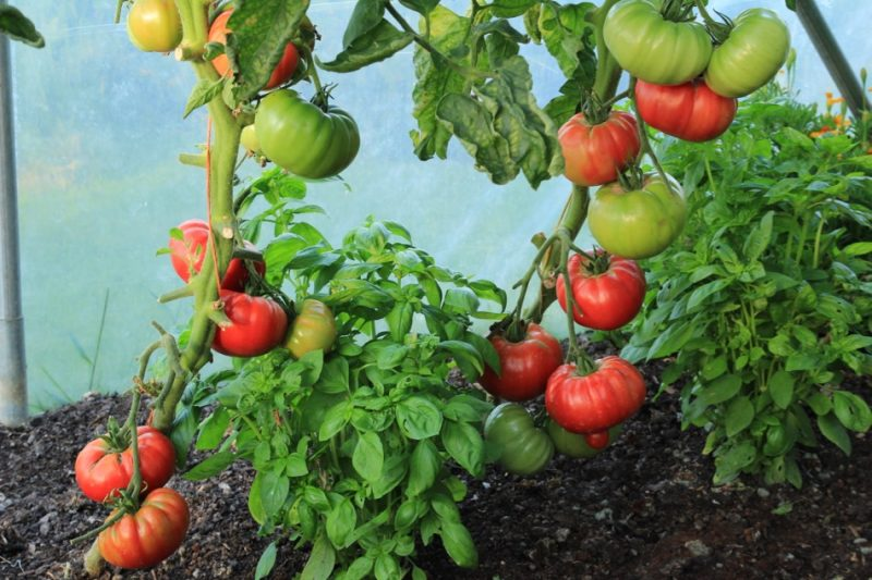 "tomato 800x533 - 8 ""TASTY"" FESTIVALS IN GREECE IN AUGUST AND SEPTEMBER"