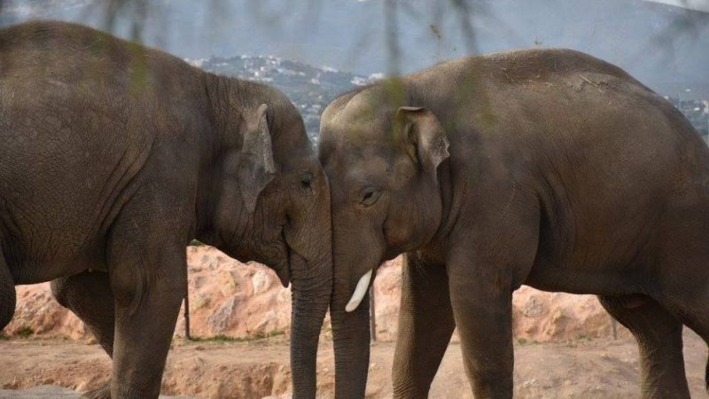 Attica zoo park elephants facebook 800x450 - TOP THINGS TO DO IN ATHENS