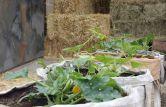 Courgette Planters