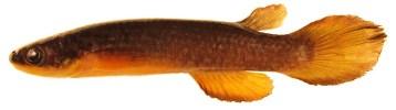 O peixe Atlantirivulus jurubatibensis é endêmico de poças do Parque Nacional da Restinga de Jurubatiba (RJ)