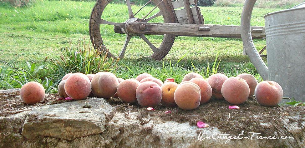 Recolte des peches du jeune pêcher - Peaches production of the young peachtree
