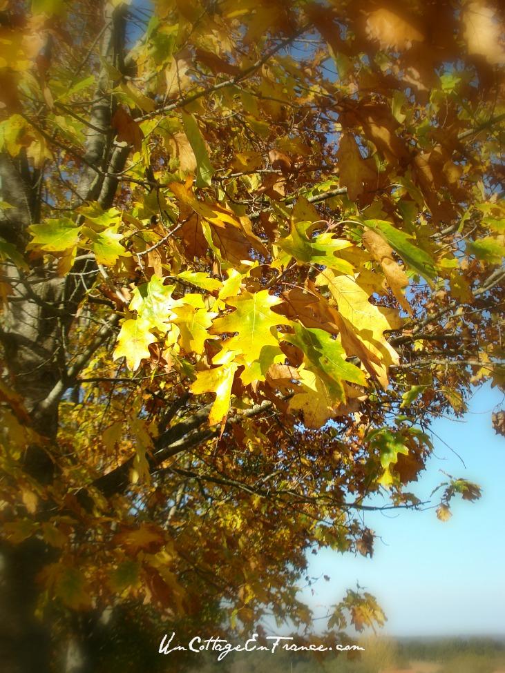 Chene du Limousin - Limousn oaktree