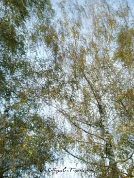 Les grands bouleaux en automne
