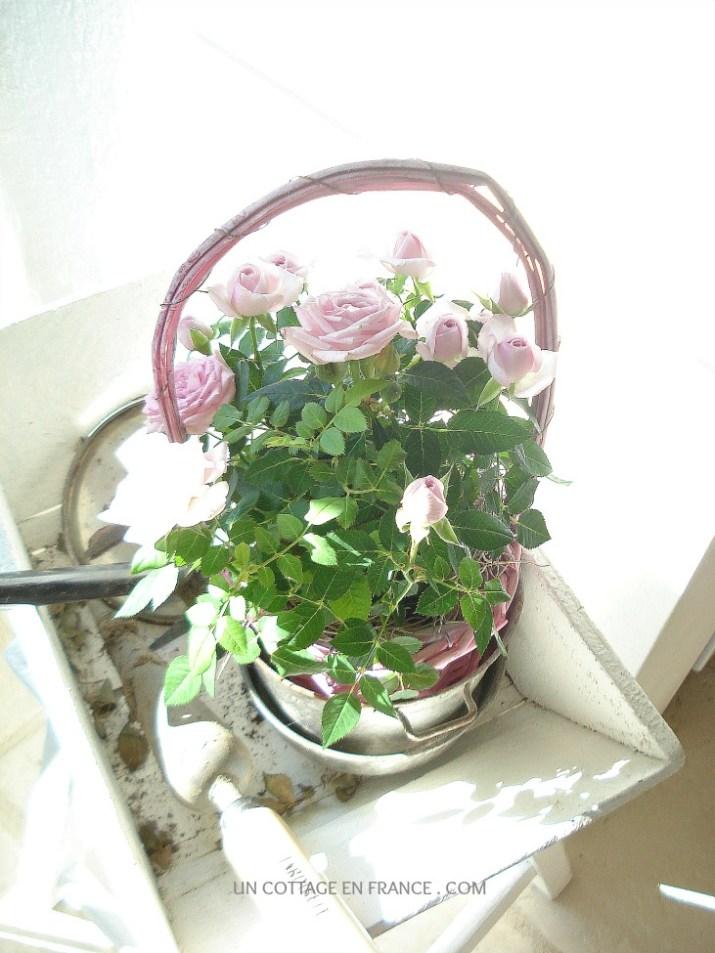 Fraicheur des roses roses cottage