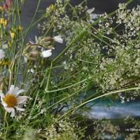 Parfum de LIBERTE des fleurs des champs & des marguerites (Fragrance of FREEDOM of field flowers & wild daisies)