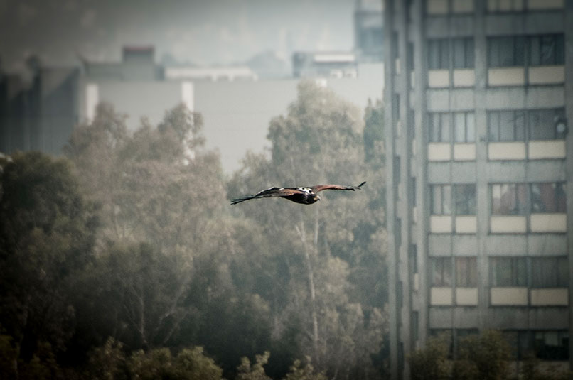 halcones-tlatelolco-limulus_04
