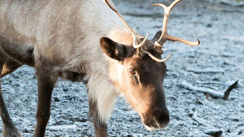 reindeer-stock