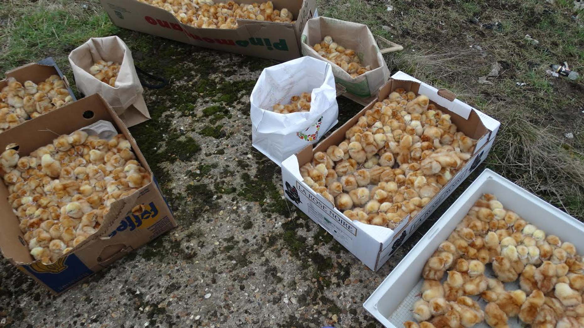1000 day-old chicks found abandoned in Crowland field