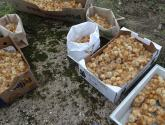 Nearly 2k abandoned chicks killed after being dumped in Lincolnshire field