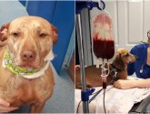 Brave pooch saves life of Dachshund in need of emergency blood transfusion