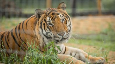 Syas relaxing in his new Horncastle enclosure. Photo: Steve Smailes for Lincolnshire Reporter
