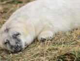 Adorable! Take a look at the hundreds of baby seals born at Donna Nook in Lincolnshire