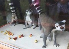 Rescued lemurs leap in action at Lincolnshire zoo