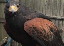 Keep eagle eyes peeled for Edie the missing hawk