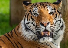 Sadness as handsome Wolds tiger, last to work in UK circus, put down