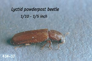 Lyctid (False Powderpost) beetle