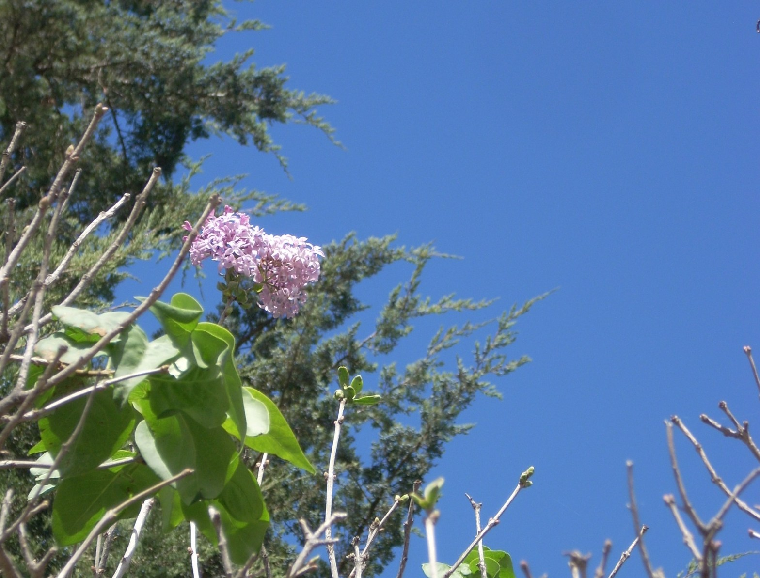 photo of an unusual fall blooming lilac