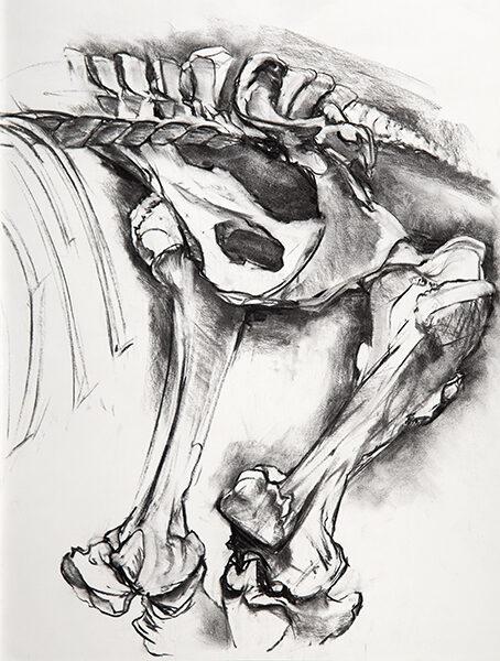 Horse Pelvis