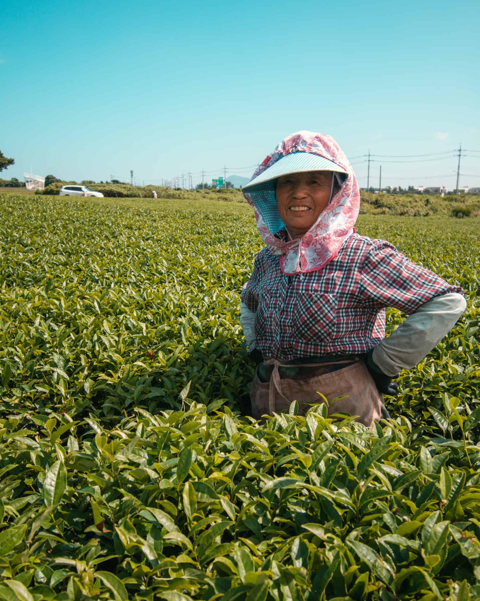 Osulloc Tea Farmer