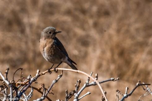 Blue Bird-1-2