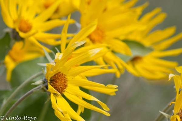 Arrow Leafed Balsamroot-1-2