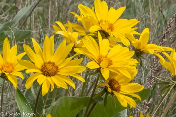 Arrow Leafed Balsamroot-1-5