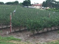 Tom West Blueberry Farm (2)