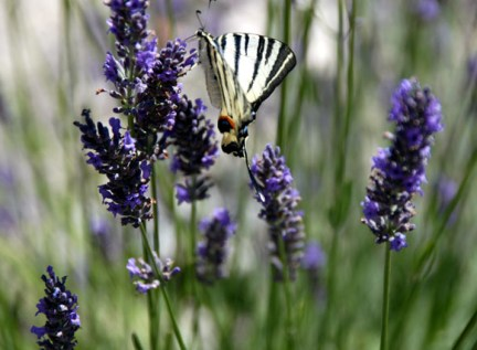 lavender2-35.JPG