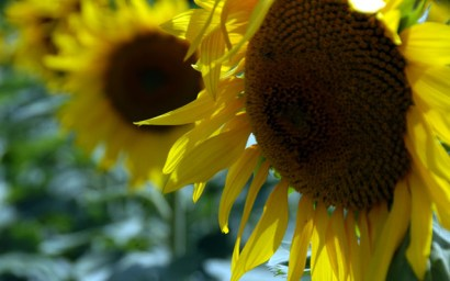 sunflowers-13.JPG
