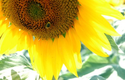 sunflowers-15.JPG