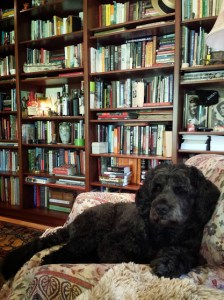 Author Linda Needham's curly, medium sized black dog in the foreground with wall of filled bookshelves of Linda Needham's home library in the background.