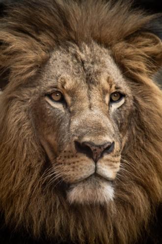 Foto van leeuw van Luke Tanis, Unsplashfoto's