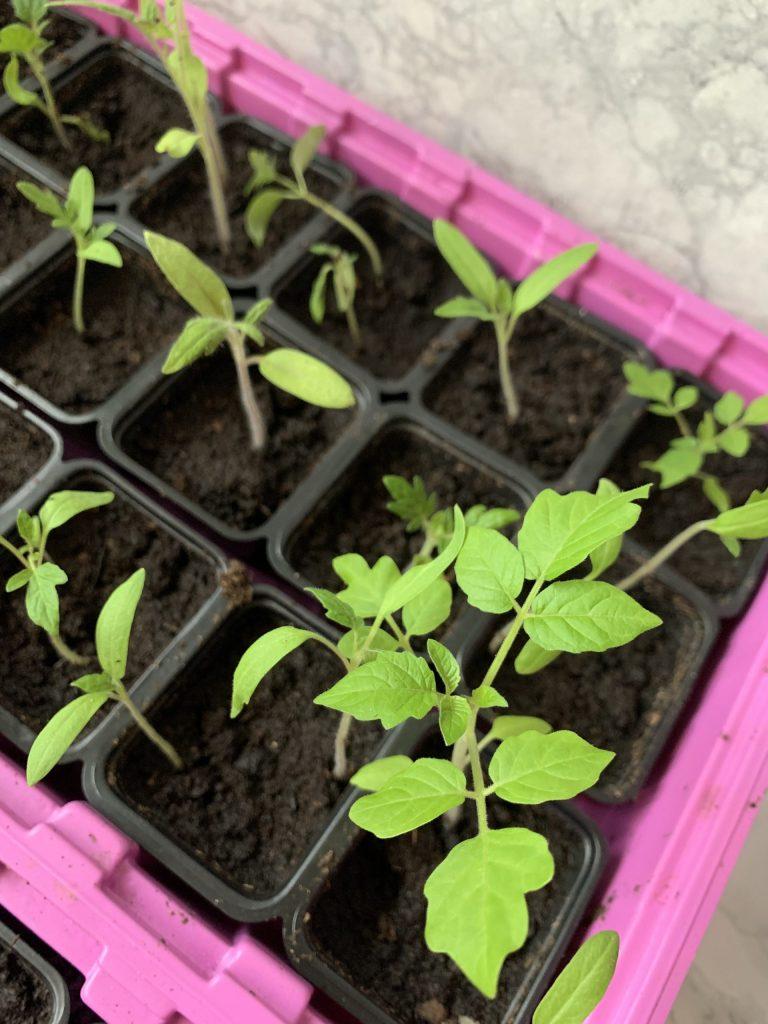 tomatplantor1
