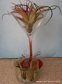 new-and-old-air-plants-tilandasia-hicks-arranged-martini-glass