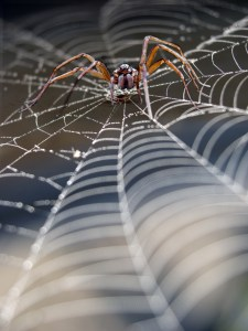 spider in cobweb