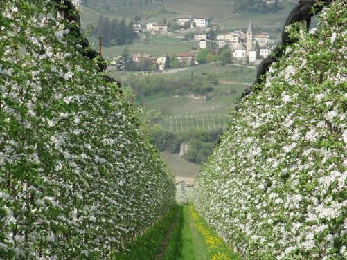 Apfelblüte in Kurtatsch
