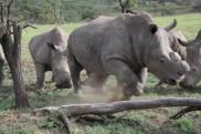 Die Nashörner mit abgefeiltem Horn