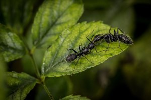 Ants on leaf, Tacoma-based and family-owned pest control and inspection company