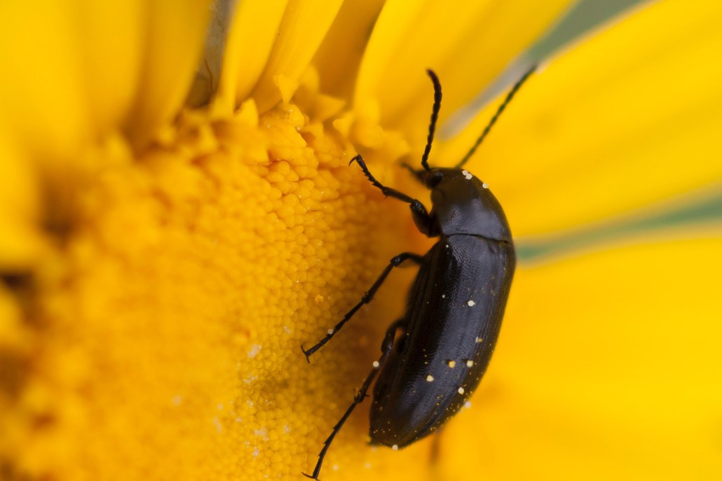 Beetle on sunflower, Tacoma-based and family-owned pest control and inspection company
