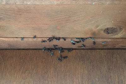 Carpenter Ants Flushing out of Tongue and Groove Ceiling