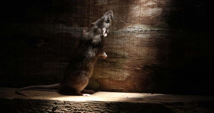 Rat to be exterminated by Lind Pest Control