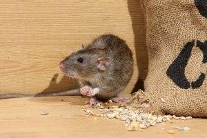 Rat eating corn