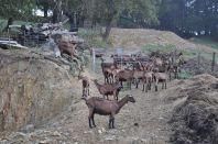 Dairy herd for Errotik cheese