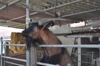 Errotik Billy Goat