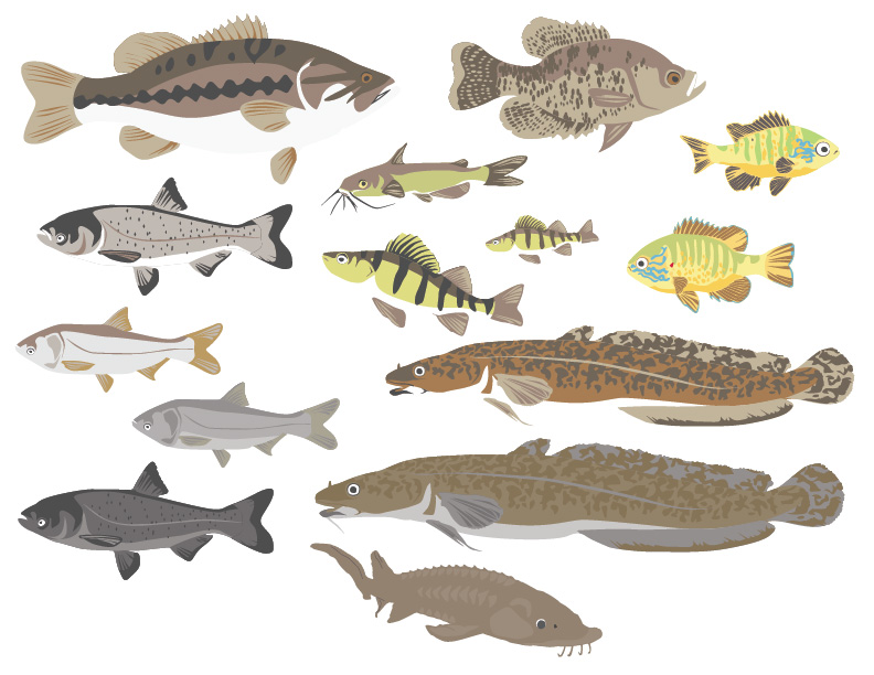 Various great lakes fish illustrated in a detailed but flattened style.