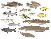 Some of the fish illustrations used in the header