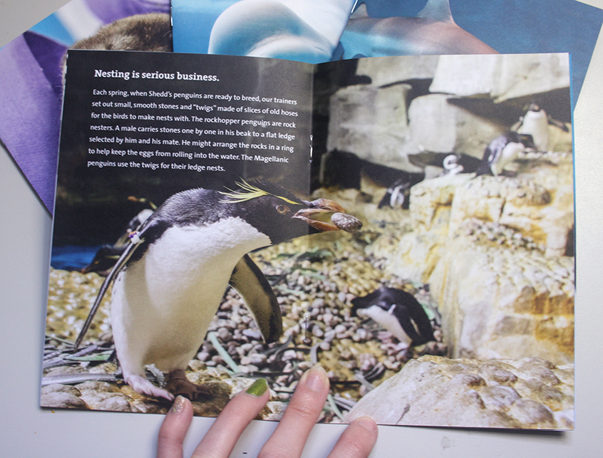 A booklet is shown opened to a full-spread image. A rockhopper penguin holding a rock in its beak is shown in the penguin habitat at Shedd. In the top right corner is information about nesting behaviors in rockhopper penguins.